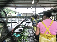 Del Monte banana packing plant