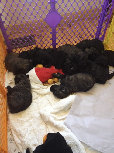 McKaela puppies in the playpen