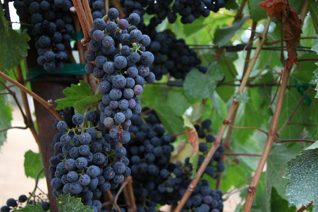 Jordan Winery Estate Malbec grapes