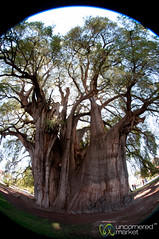Widest Tree in Fisheye - Santa Maria del Tule, Oaxaca