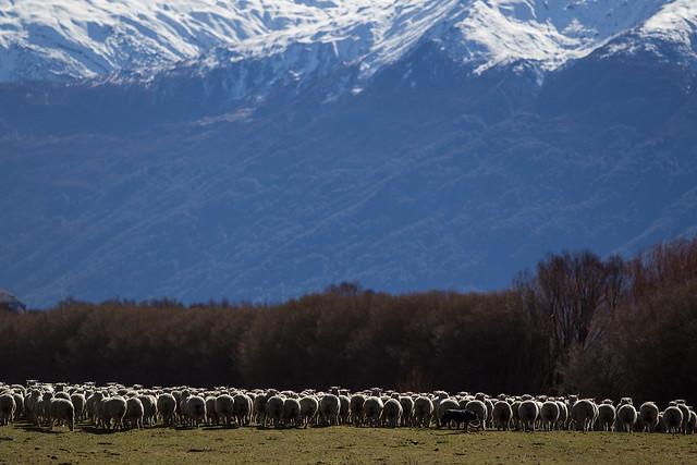 SheepDog_Treblecone_NZ_G.LHeureux-9524