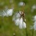Small photo of Common Cottongrass (Eriophorum angustifolium)
