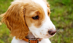 harrier(0.0), dog breed(1.0), nose(1.0), animal(1.0), kooikerhondje(1.0), dog(1.0), welsh springer spaniel(1.0), pet(1.0), brittany(1.0), spaniel(1.0), carnivoran(1.0),