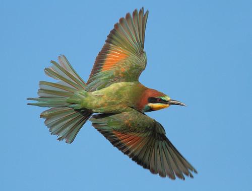 無料写真素材, 動物 , 鳥類, ヨーロッパハチクイ, 鳥類  飛ぶ