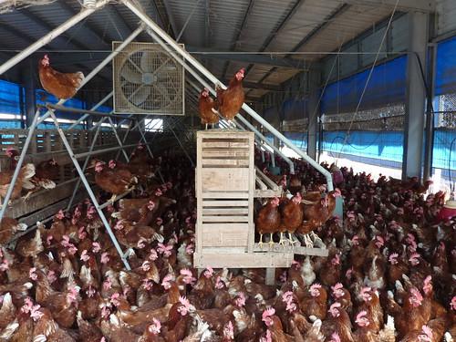 「室內平飼」(barn)飼養系統。(圖片來源:台灣動物社會研究會)