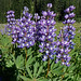 Arctic Lupine - Photo (c) Debbie, some rights reserved (CC BY)