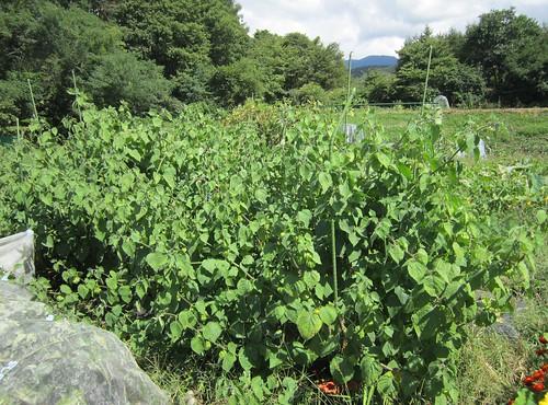 生い茂る食用ほおずき 2012年9月12日 by Poran111