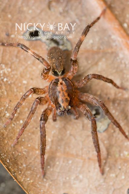 Wandering Spider (Ctenidae) - DSC_4793