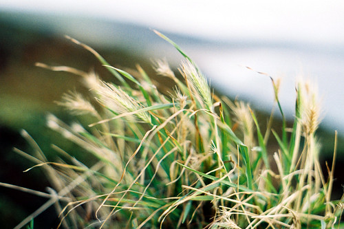Grass on a wall Morte Point by 35mm_photographs