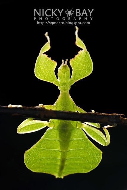 Gray's Leaf Insect (Phyllium bioculatum) - DSC_5038