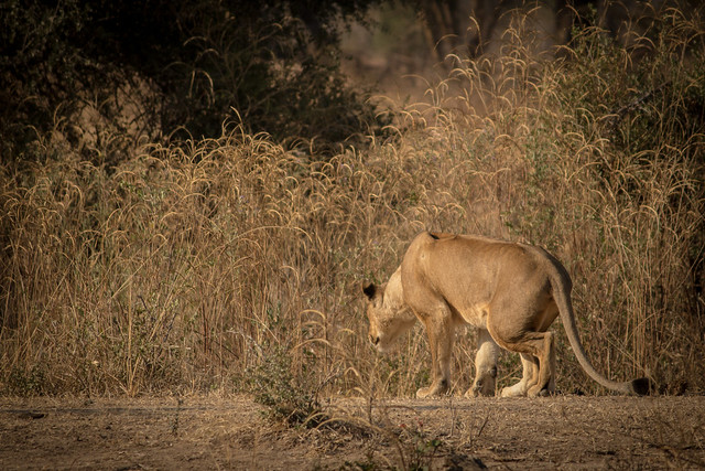 Wild Lionesses - South Luangwa, Zambia