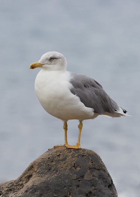 Yellow legged gull portrait