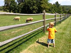 Milo + Sheep