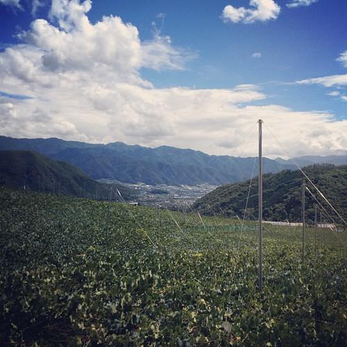 牧丘ぶどう畑。巨峰の最盛期。