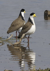 Courting spur-winged plovers - Vanellus miles novaehollandiae