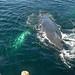Humpback Whale (Ian Nicholson)