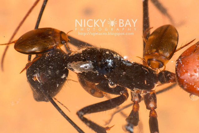 Forest Ant with Water Beetles - DSC_3777
