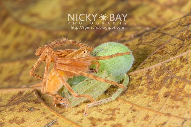 Huntsman Spiders (Sparassidae) - DSC_3691
