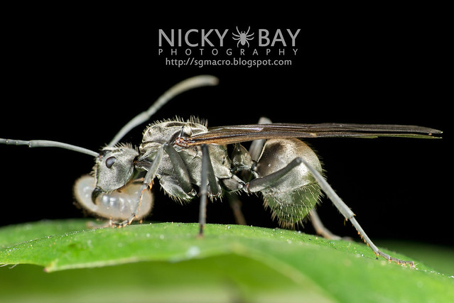 Winged Ant - DSC_2174