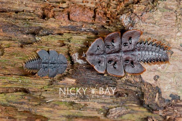 Trilobite Beetles (Duliticola hoseini) - DSC_1800