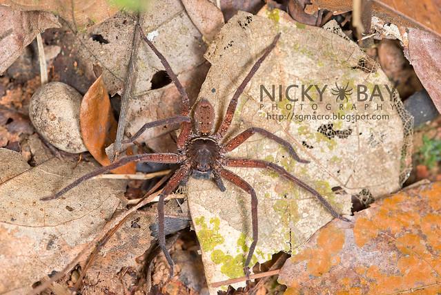 Huntsman Spider (Sparassidae) - DSC_1672