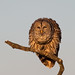 Barred Owl Fluffed Up by Photomatt28