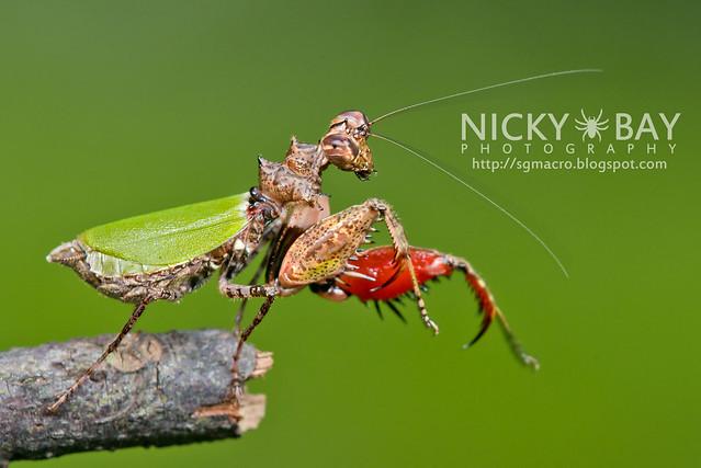 Pachymantis bicingulata - DSC_0695