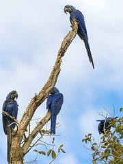 Hyacinth macaws on the tree