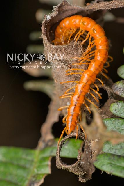 Millipede (Diplopoda) - DSC_5791