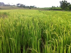 Humay (rice plants)