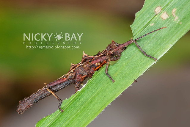 Stick Insect (Phasmatodea) - DSC_8766