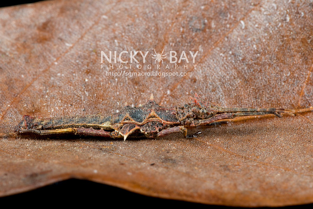 Stick Insect (Phasmatodea) - DSC_8804