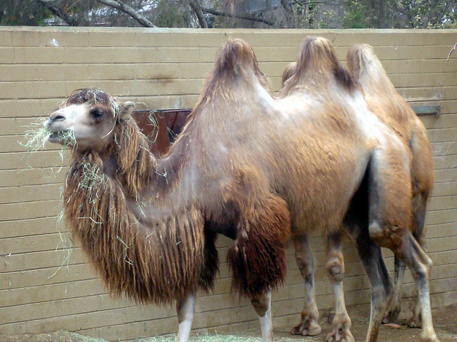 camels - cheap san diego zoo tickets