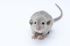 [フリー画像素材] 動物 1, 鼠・ネズミ, ラット ID:201210051000