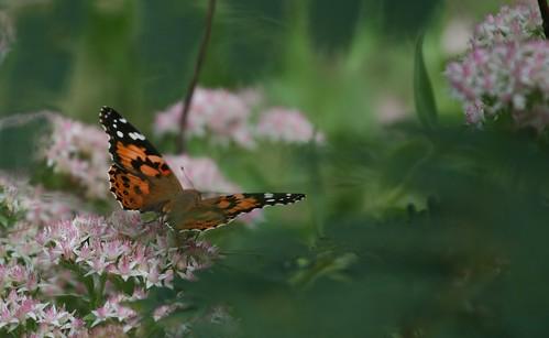 Admiral butterfly on sedum