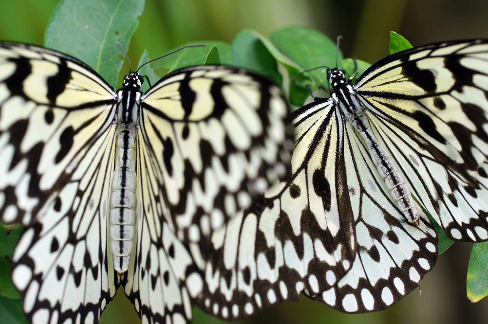 大白斑蝶-2