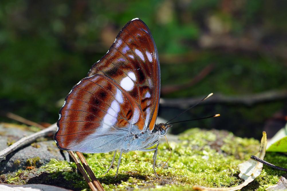 台灣單帶蛺蝶-3