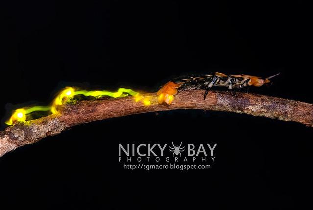 Firefly larva (Lampyridae) - DSC_5563