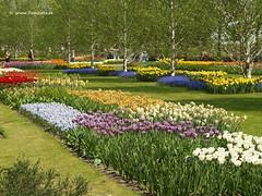 Dutch Tulips, Keukenhof Gardens, Netherlands - 0623