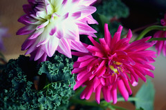 dahlias and kale 061
