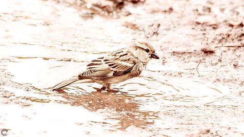 raveclix india incredibleindia canon sigma canon5dmarkiii sigma150500mmf563apodgoshsm monsoon bird rain sparrow