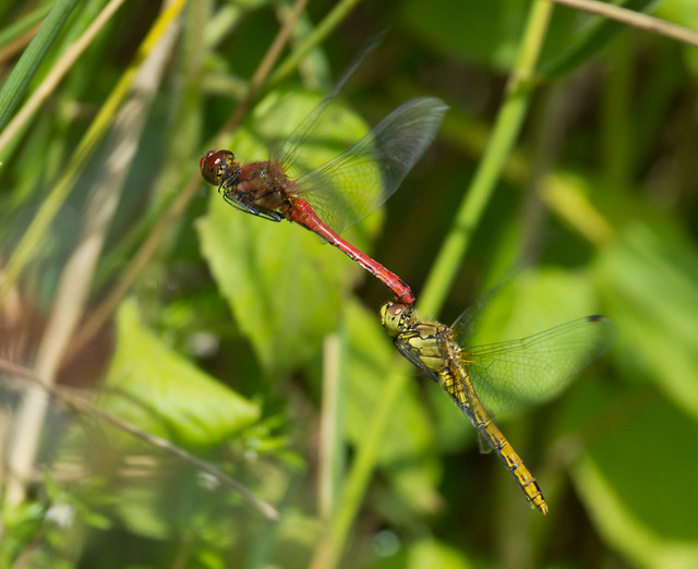 ruddy darter egg laying tadem pair 2