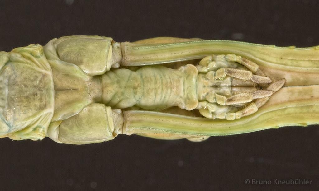 "Anchiale sp. ""Buru"" (Phasmatodea) - new species 7906788382_abb708dcc8_b"