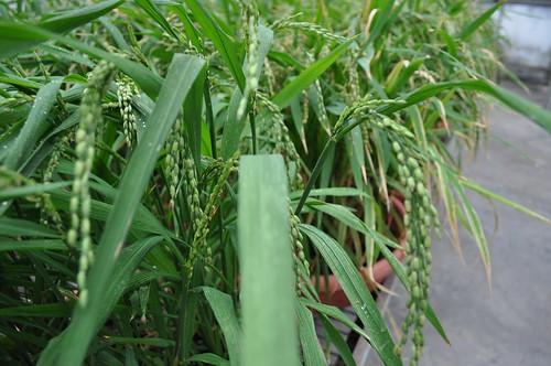 史上最宅矮種稻,在陽台就可以種出一家人所需的米喔!(圖片來源:國家作物種原中心)