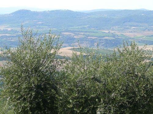 Gli olivi dell'Azienda Agricola De Triachi, ad Arcidosso