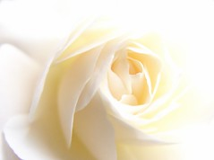 Close_Up_White_Rose