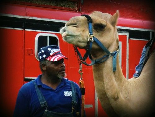 Lawrence the Camel
