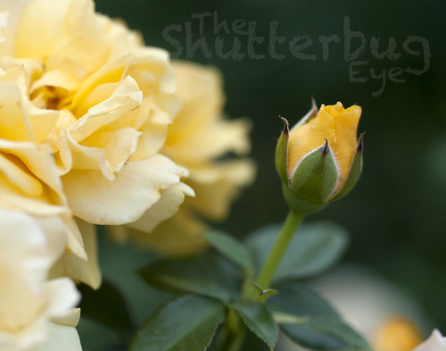 Yellow Rosebud by The Shutterbug Eye™