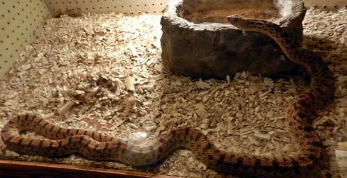 serpiente toro