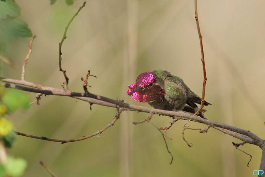 Anna's Hummingbird breeding 011812-4